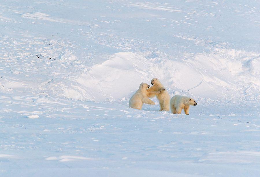 Молодёжь... чукотка арктика лето море берег медведь морской белый полярный умка