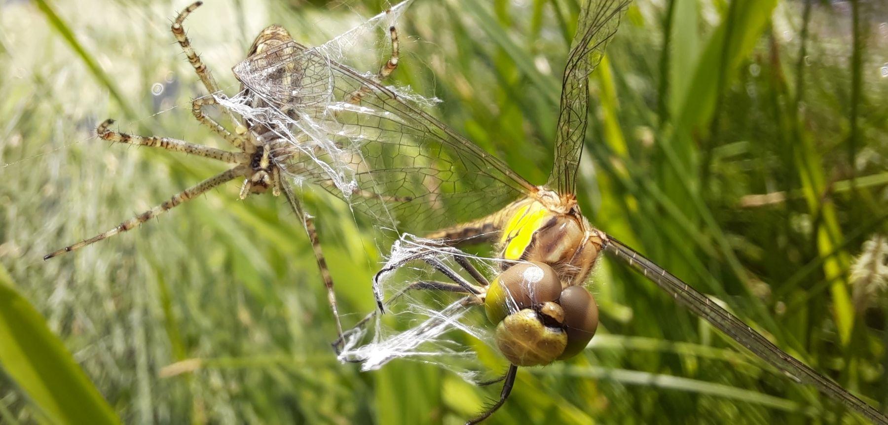 Стрекоза в паутине Стрекоза