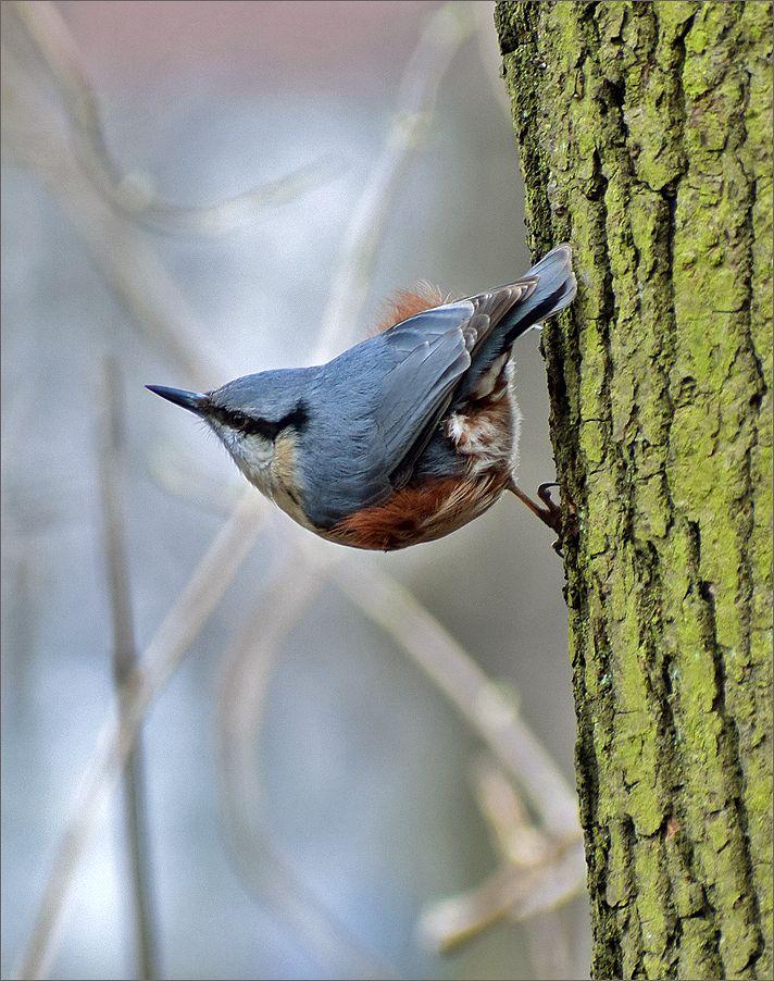 поползень птица поползень Польша парк Весна Бытом