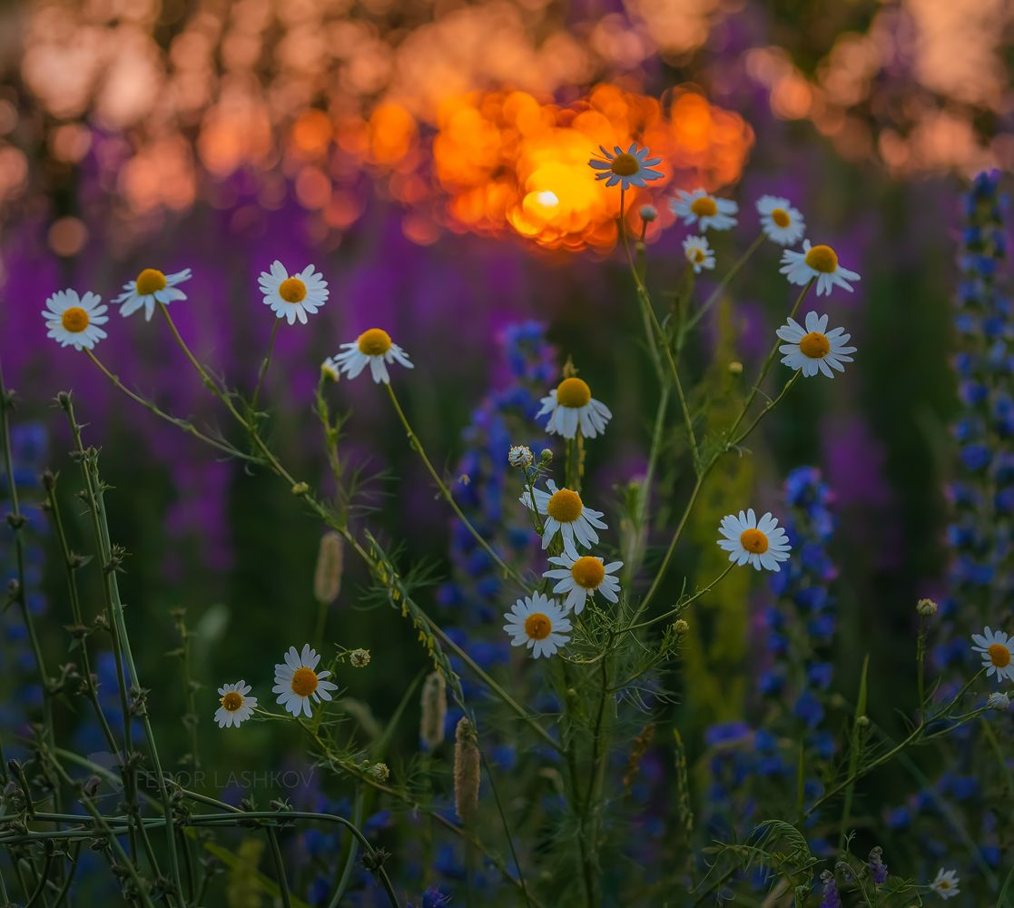Летняя живопись Лебедянский район Липецкая область луг цветение ромашки ромашка макро цветы цветок лето летнее закат закатное белые красочное краски оранжевый фиолетовый