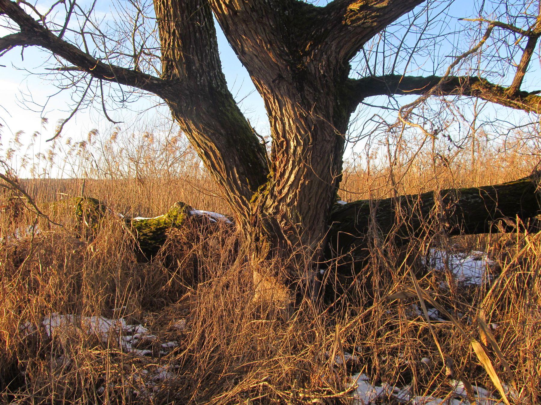 старая ива природа.дерево.осень.беларусь