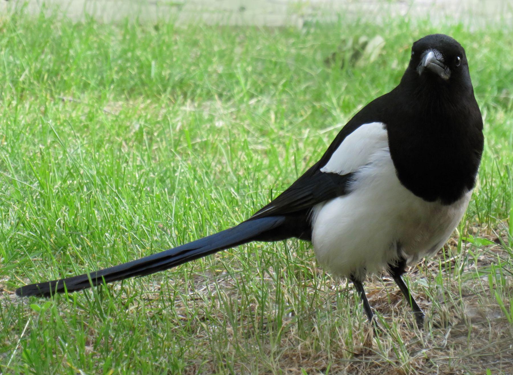 Сорока-белобока птицы сорока
