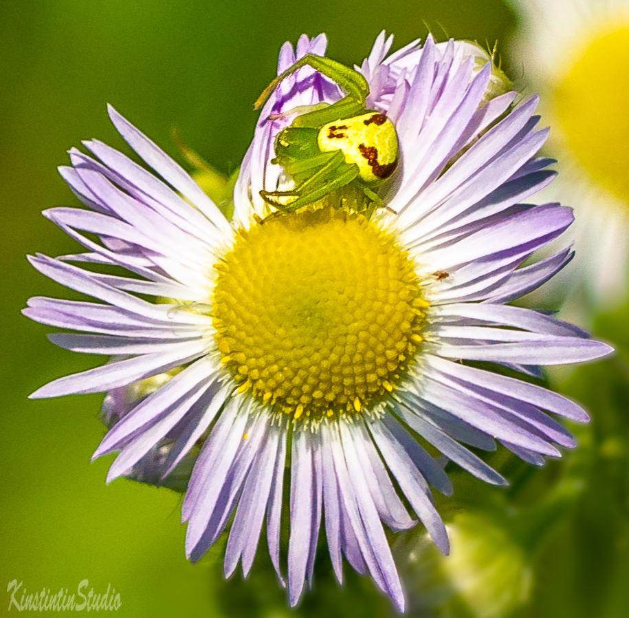***Ромашка с пауком..**** Ромашка паук лето июнь