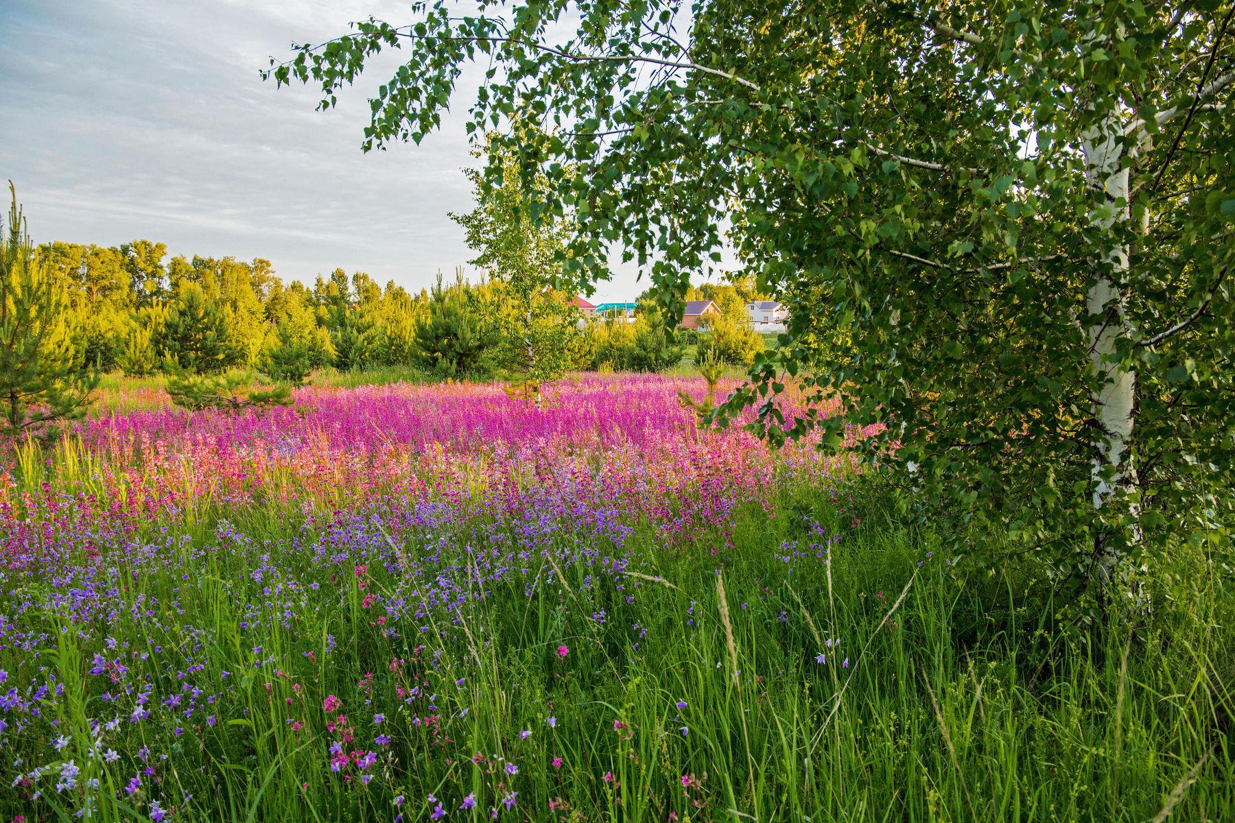 *** природа пейзаж лето вечер татарстан дубровка гвоздика смолка