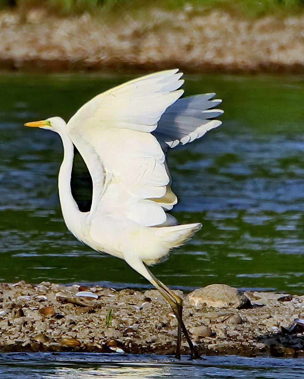 Царевна цапля цапли птицы