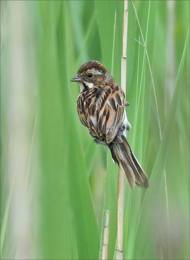 тростникoвая овсянка - самка тростникoвая овсянка тростник самка птица Польша пение озеро лето вода Бытом