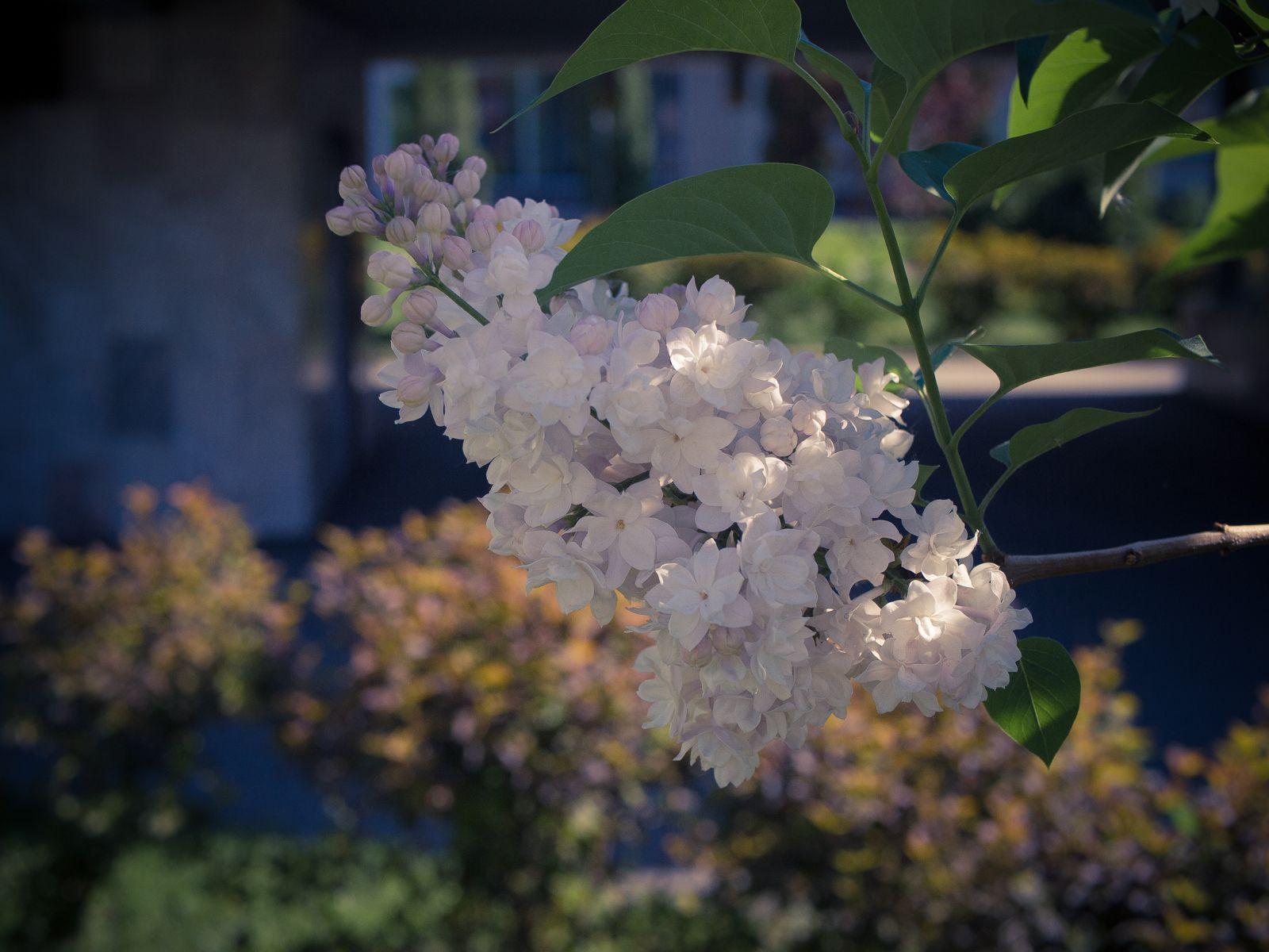 *** сирень цветы весна белая