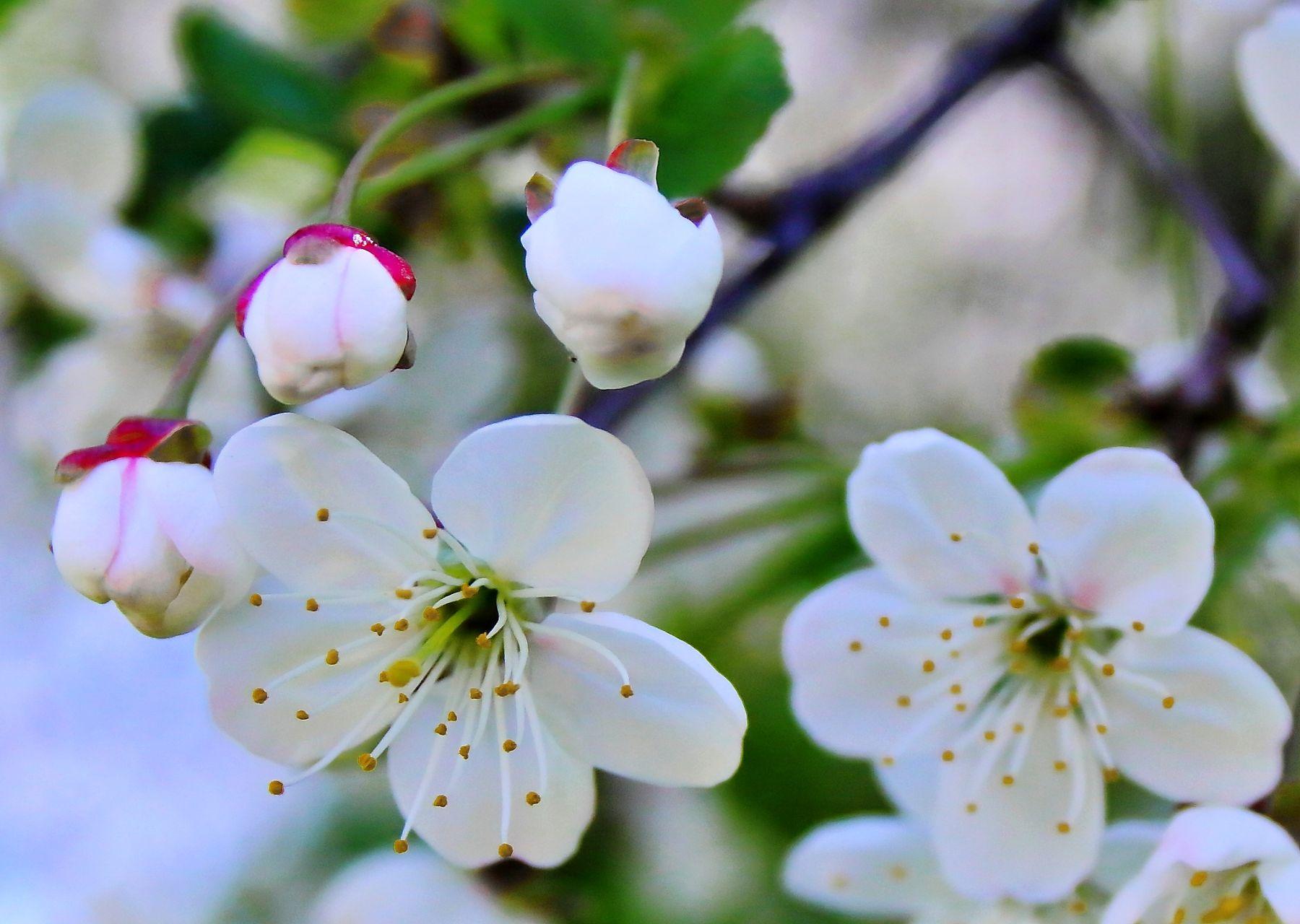 *** Вишня весна цветение
