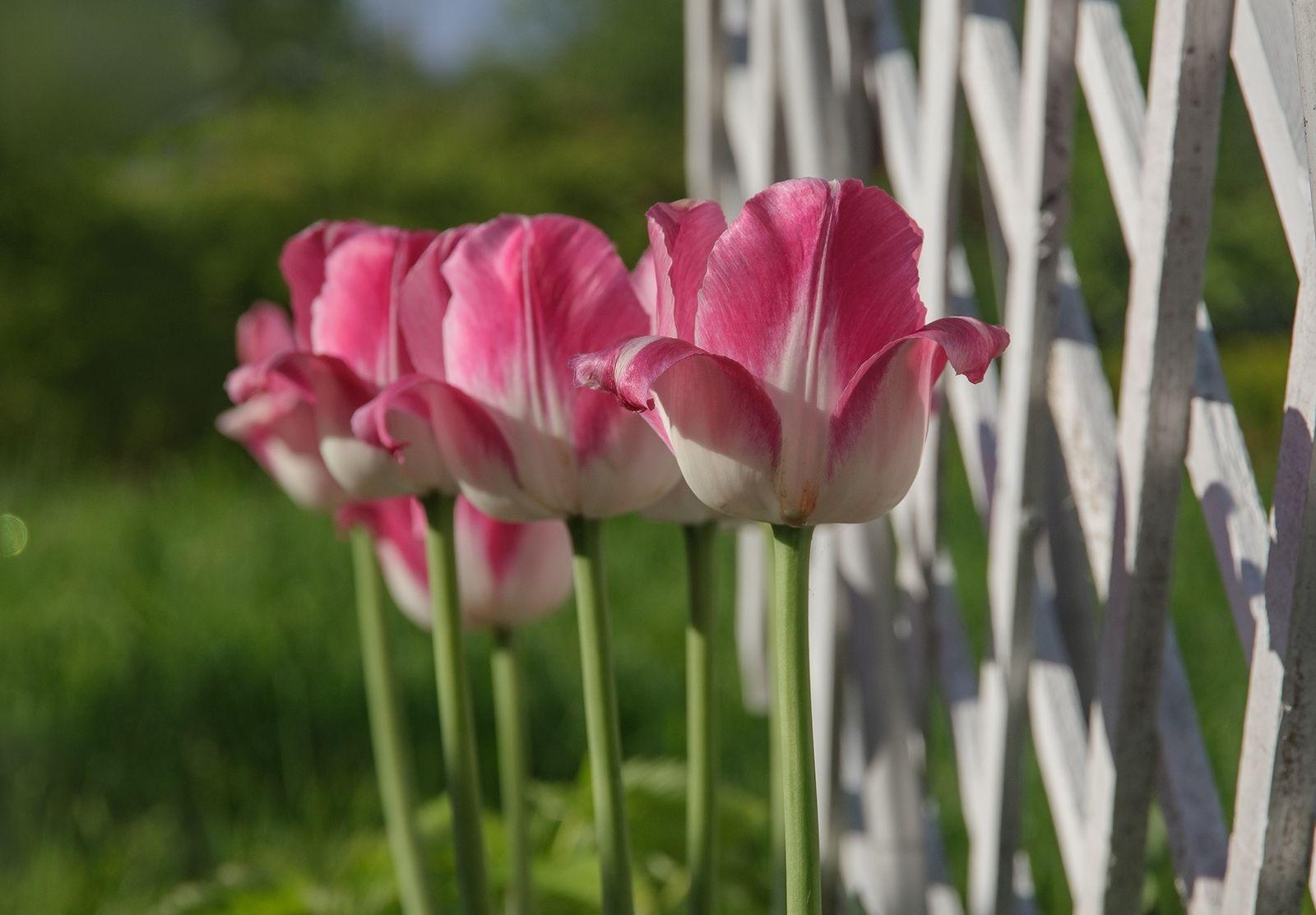 По порядку становись! тюльпаны цветы