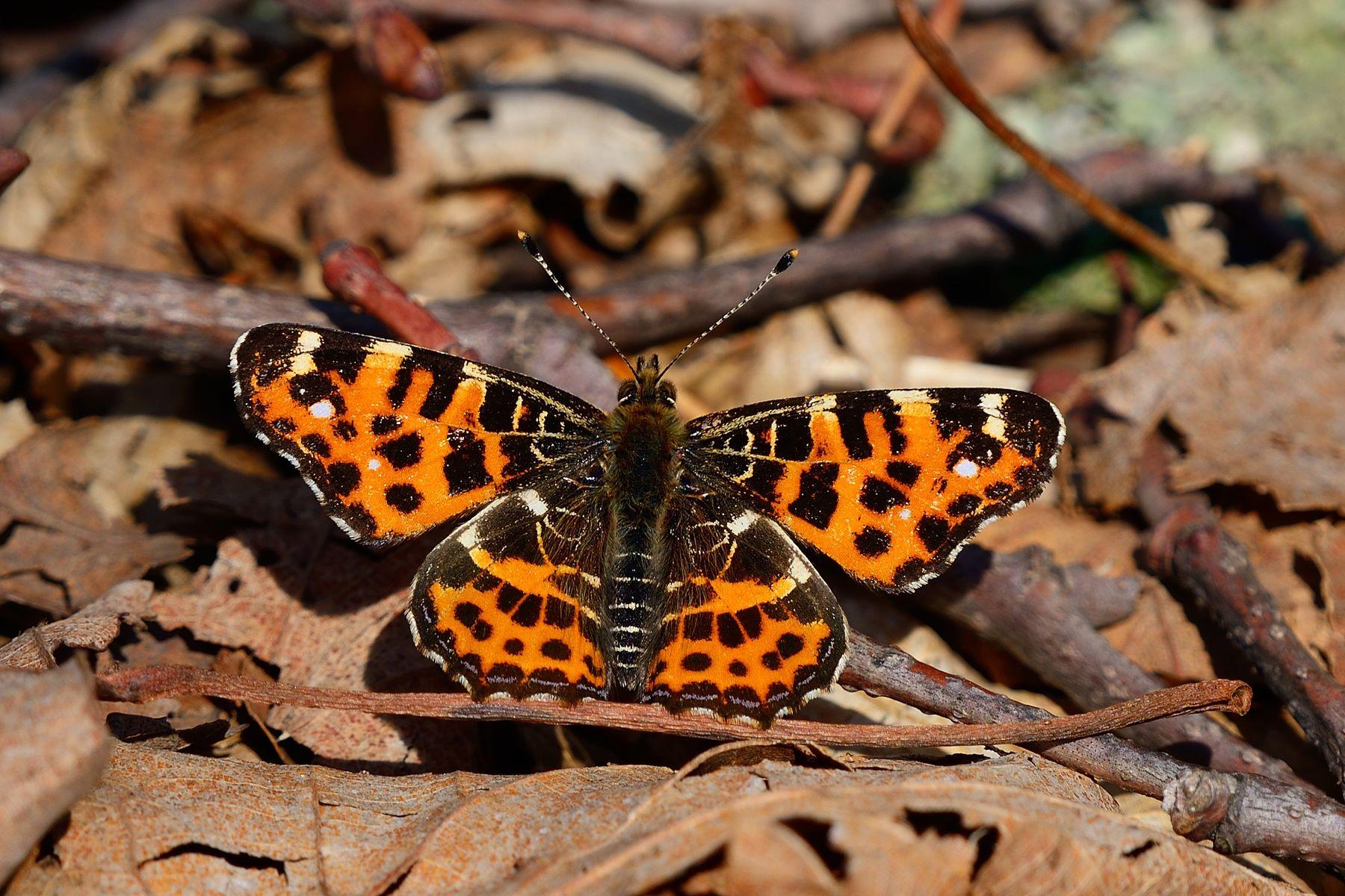 Пестрокрыльница изменчивая Бабочка пестрокрыльница изменчивая