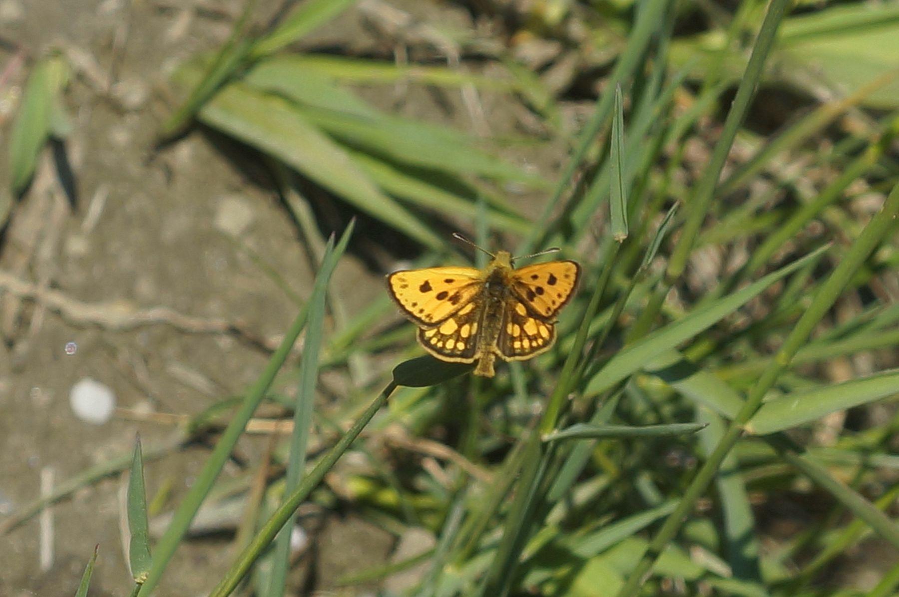 Толстоголовка толстоголовка бабочка лес лето трава