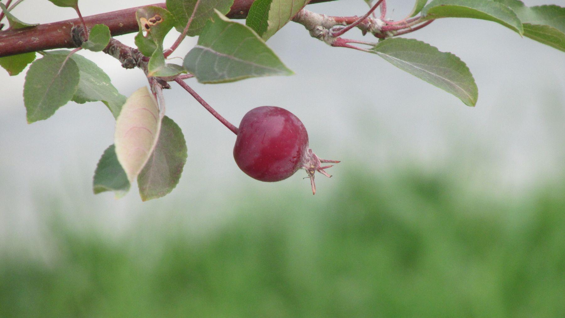 яблочки яблоко