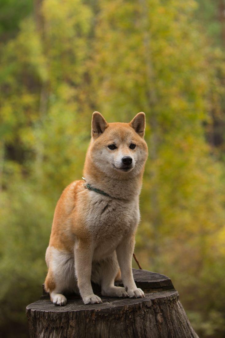 Осень, осень. собаки сиба-ину природа шиба сиба лес отдых осень Забайкалье