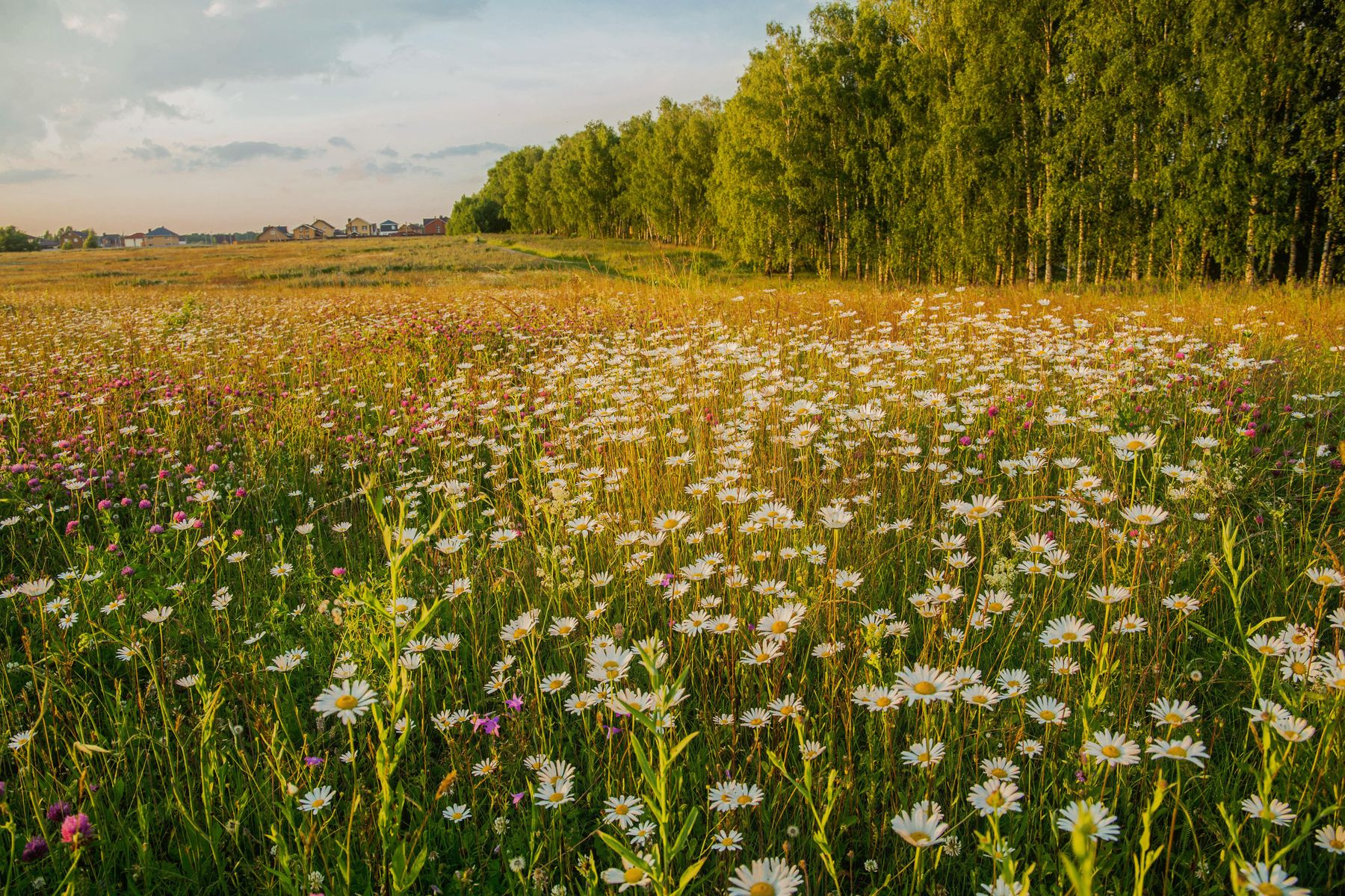 Ромашковое поле природа пейзаж лето вечер татарстан новочувашский поле ромашки цветы