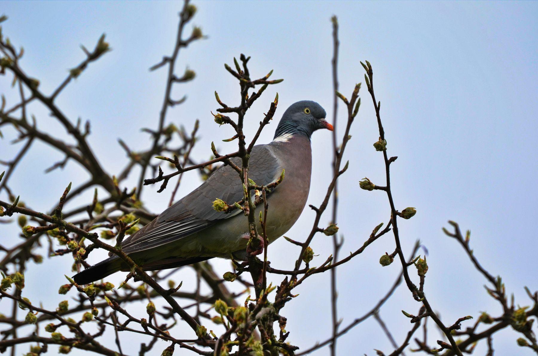 Вяхирь, дикий голубь. Дикий голубь природа птица