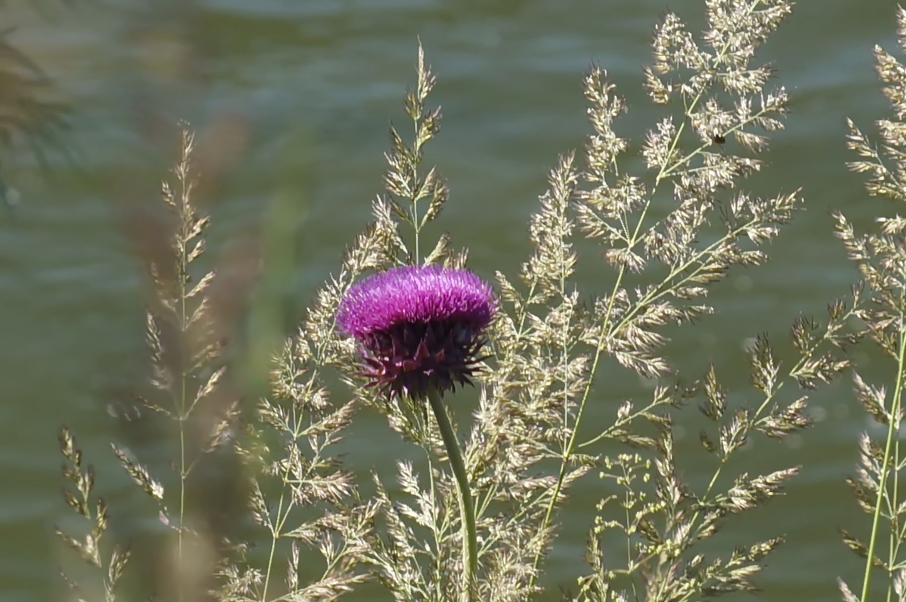 Чертополох чертополох лето цветы берег лес