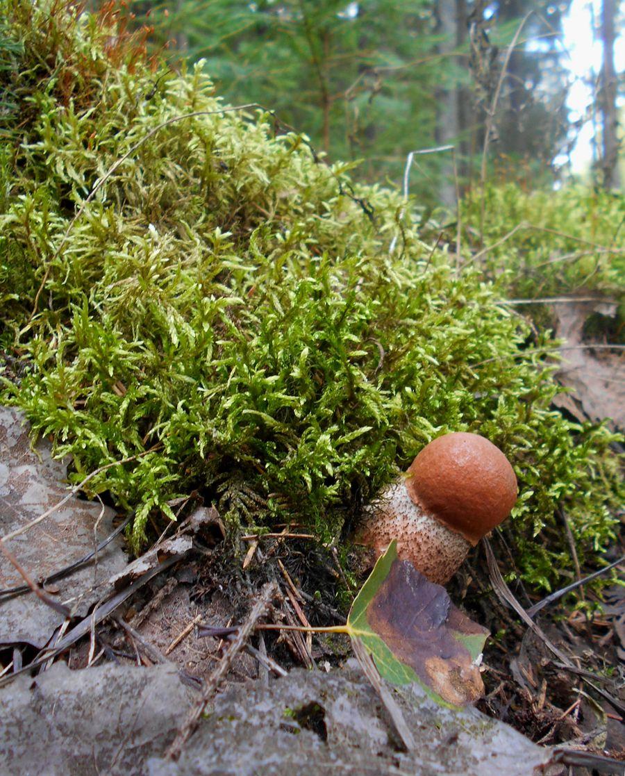 выскочка лес грибы