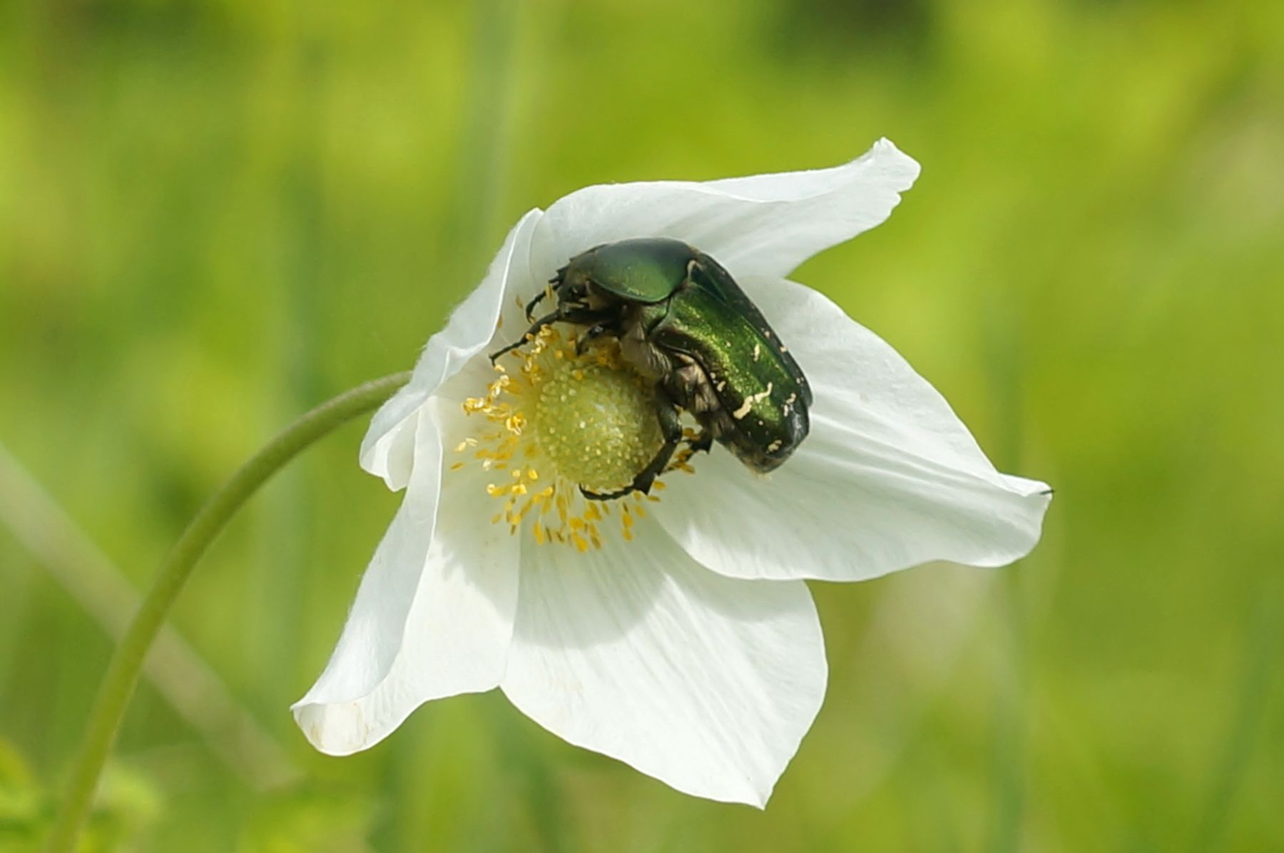 Бронзовка на цветке бронзовка жук лес лето цветок