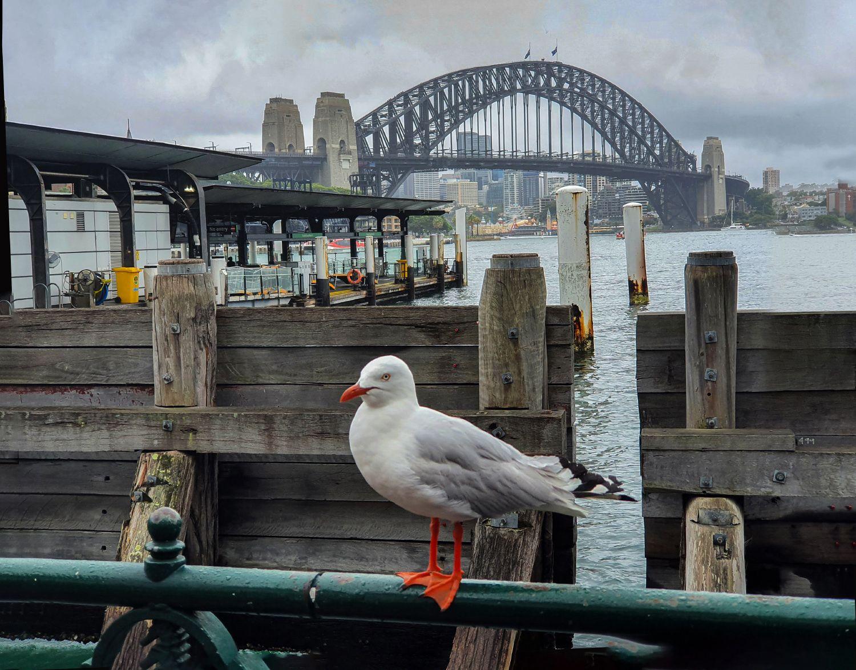 Чайка на фоне Харбор-Бридж Харбор-бридж Австралия чайка