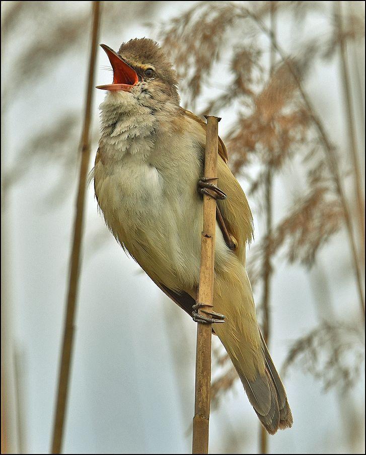 Дроздовидная камышовка тростник самец птица Польша озеро капли весна Дроздовидная камышовка дождь вода Бытом