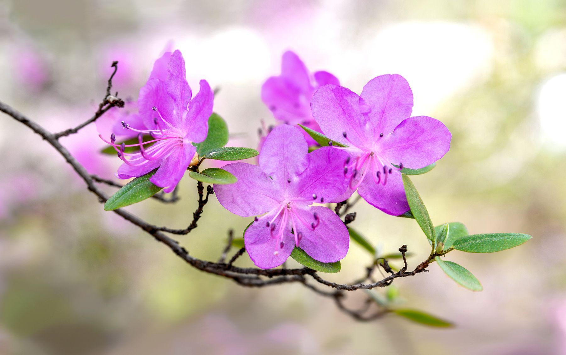 Цветущий Маральник Цветущий Маральник на Алтае