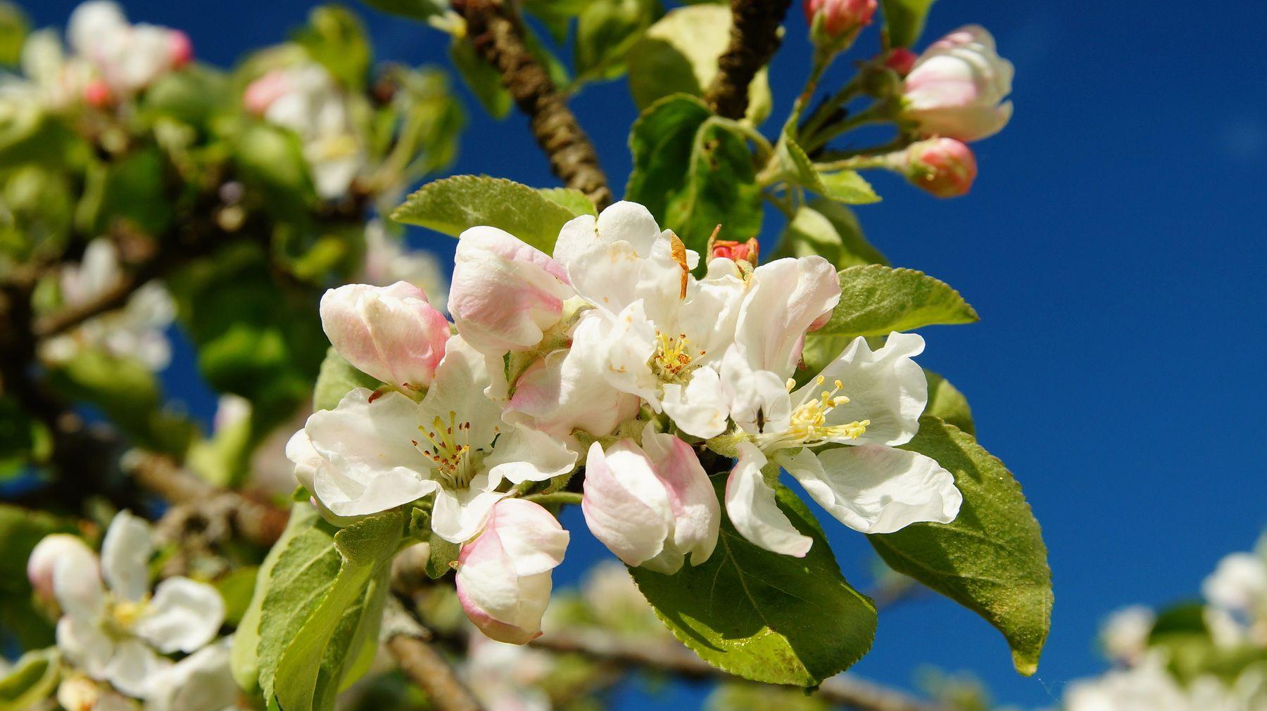 Яблони в цвету Весна яблони цветки
