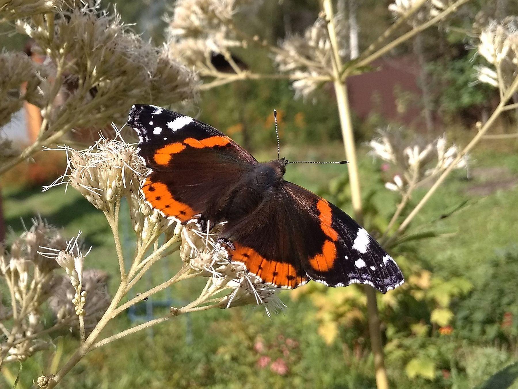 *** бабочки адмирал