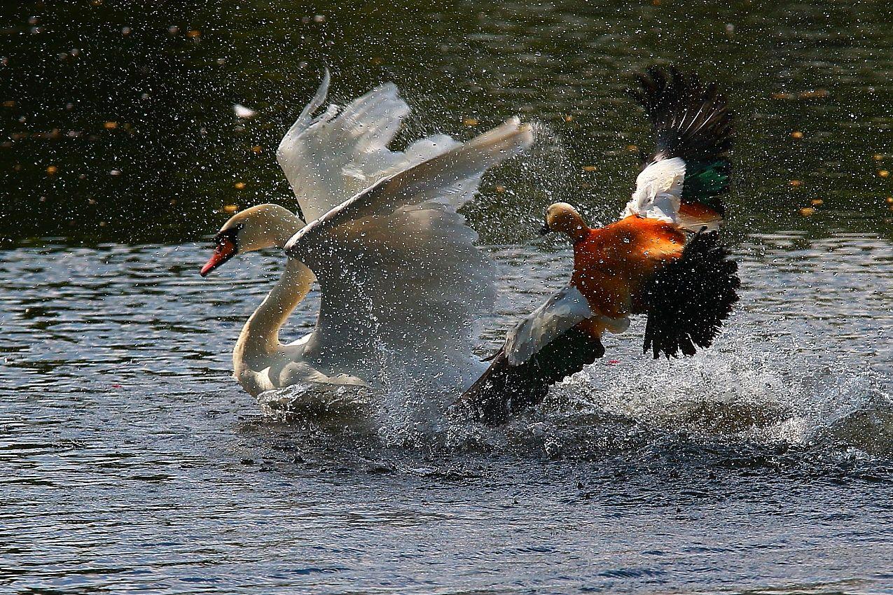 Атака !!! огарь лебедь птицы животные