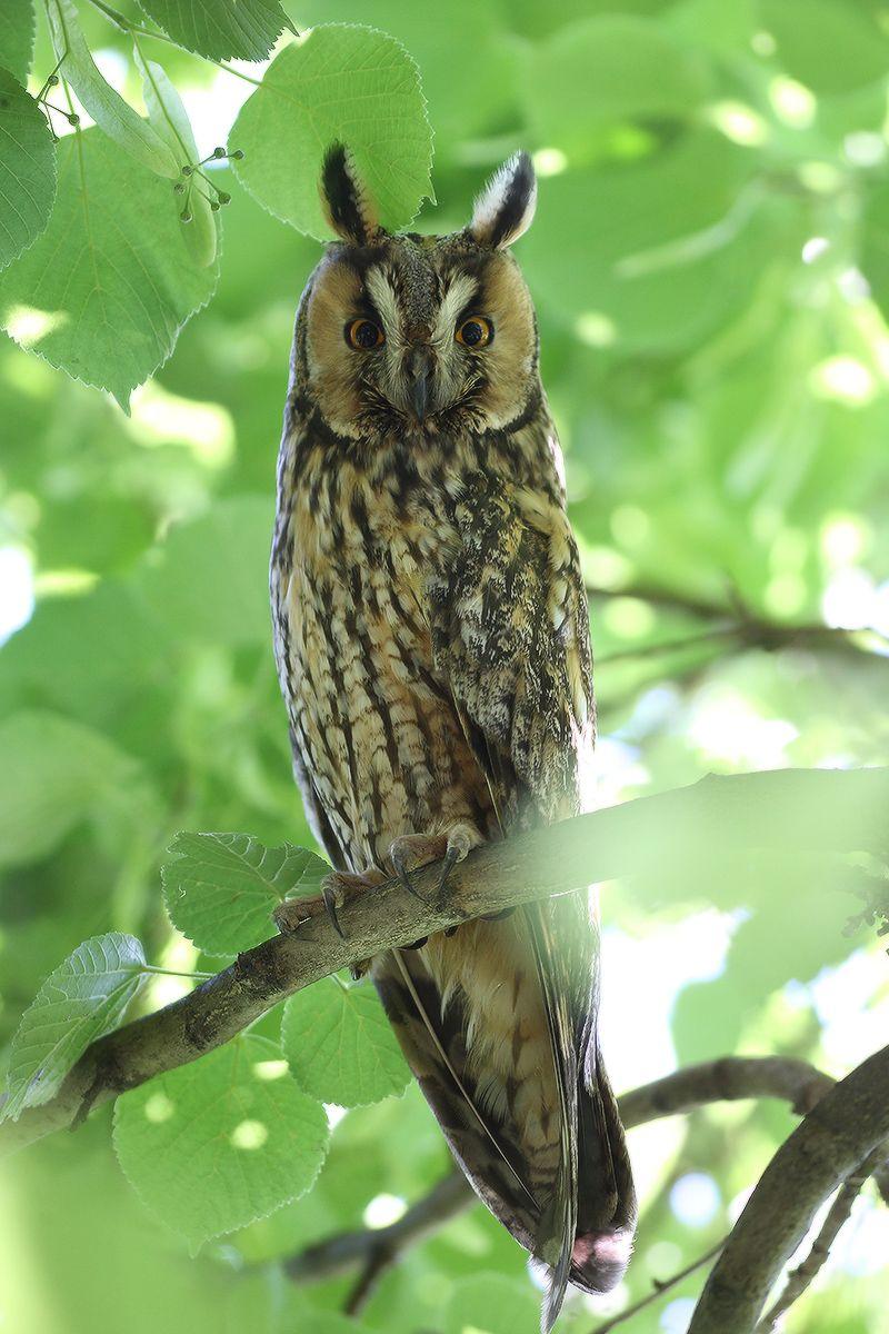 в тени липы птица сова long-eared owl взляд
