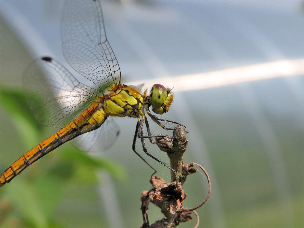 Стрекоза. природа насекомые фауна стрекоза макро