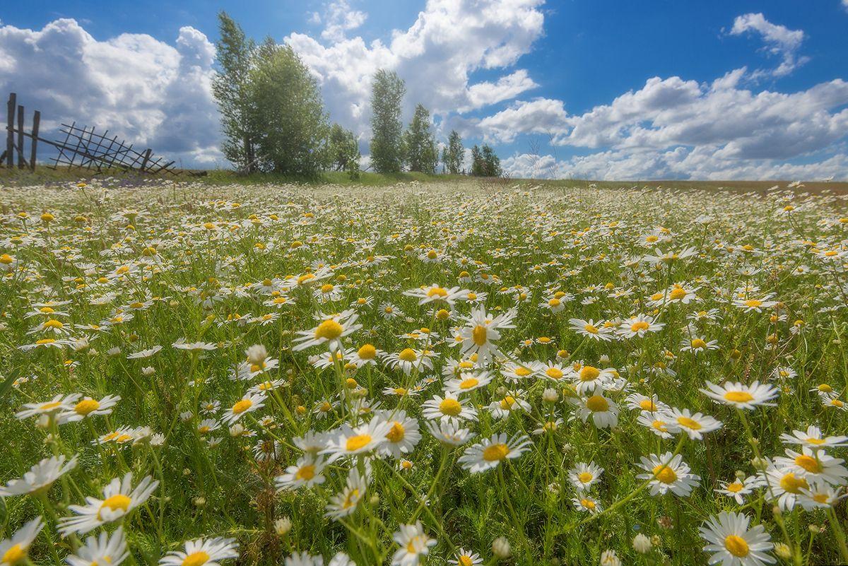 Про лето... Лето поле цветы