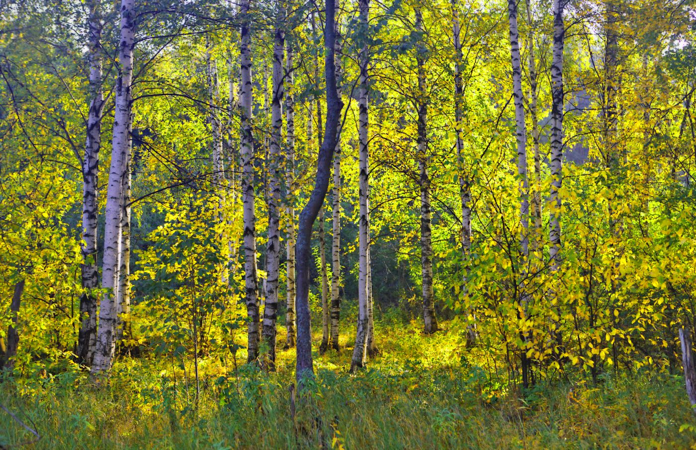 Страна берёзового ситца... лес