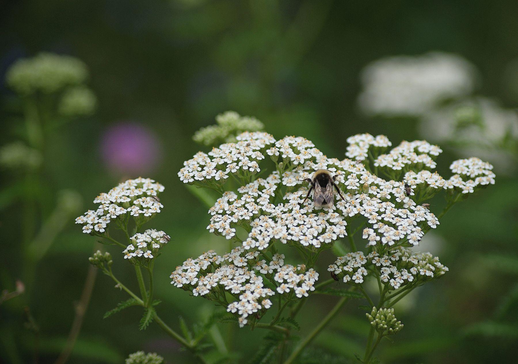 Тысячелистник со шмелем Лето луговые цветы тысячелистник шмель