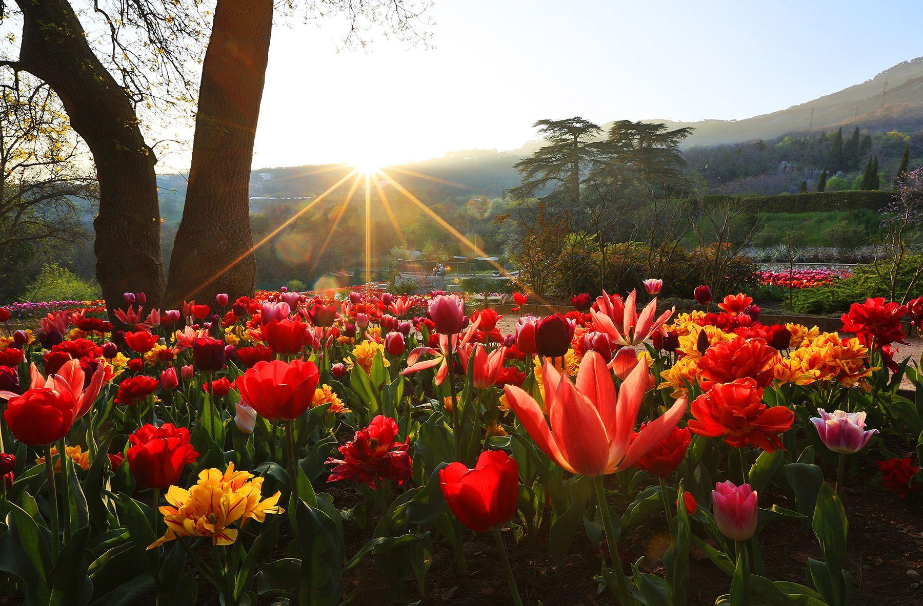 Выставка тюльпанов Никитский сад Выставка тюльпанов Ялта Крым НБС цветы весна в Ялте