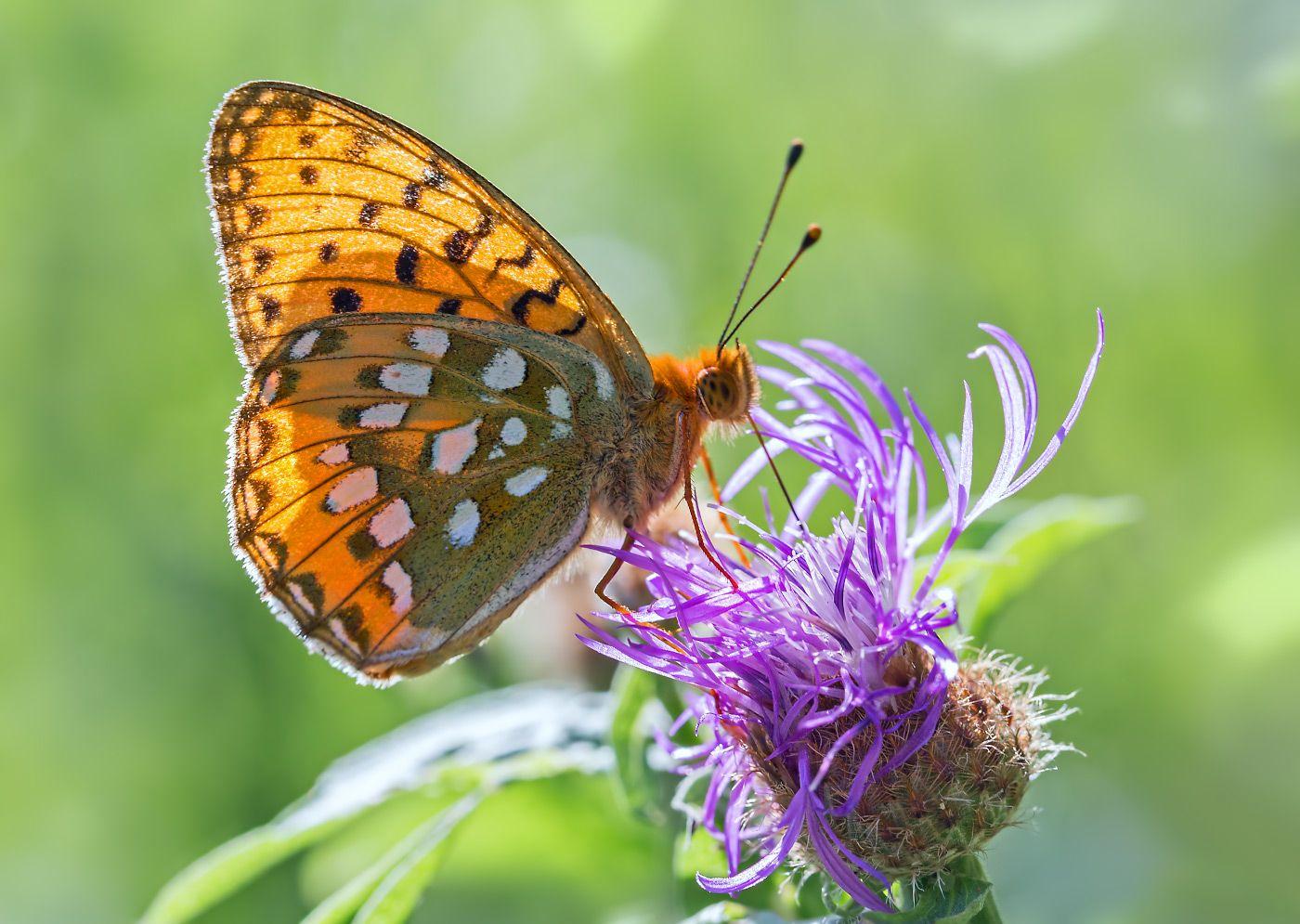 Перламутровка Аглая насекомые бабочка нимфалида перламутровка аглая лето июль