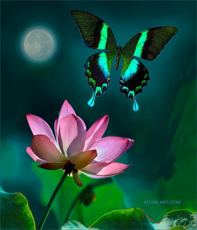 Полеты во сне и наяву / Flying in Dream and in Reality Papilio blumei papilio парусник Блюме бабочка крылья полет лотос ночь луна цветок макро peacock Ритам Мельгунов стихи поэзия