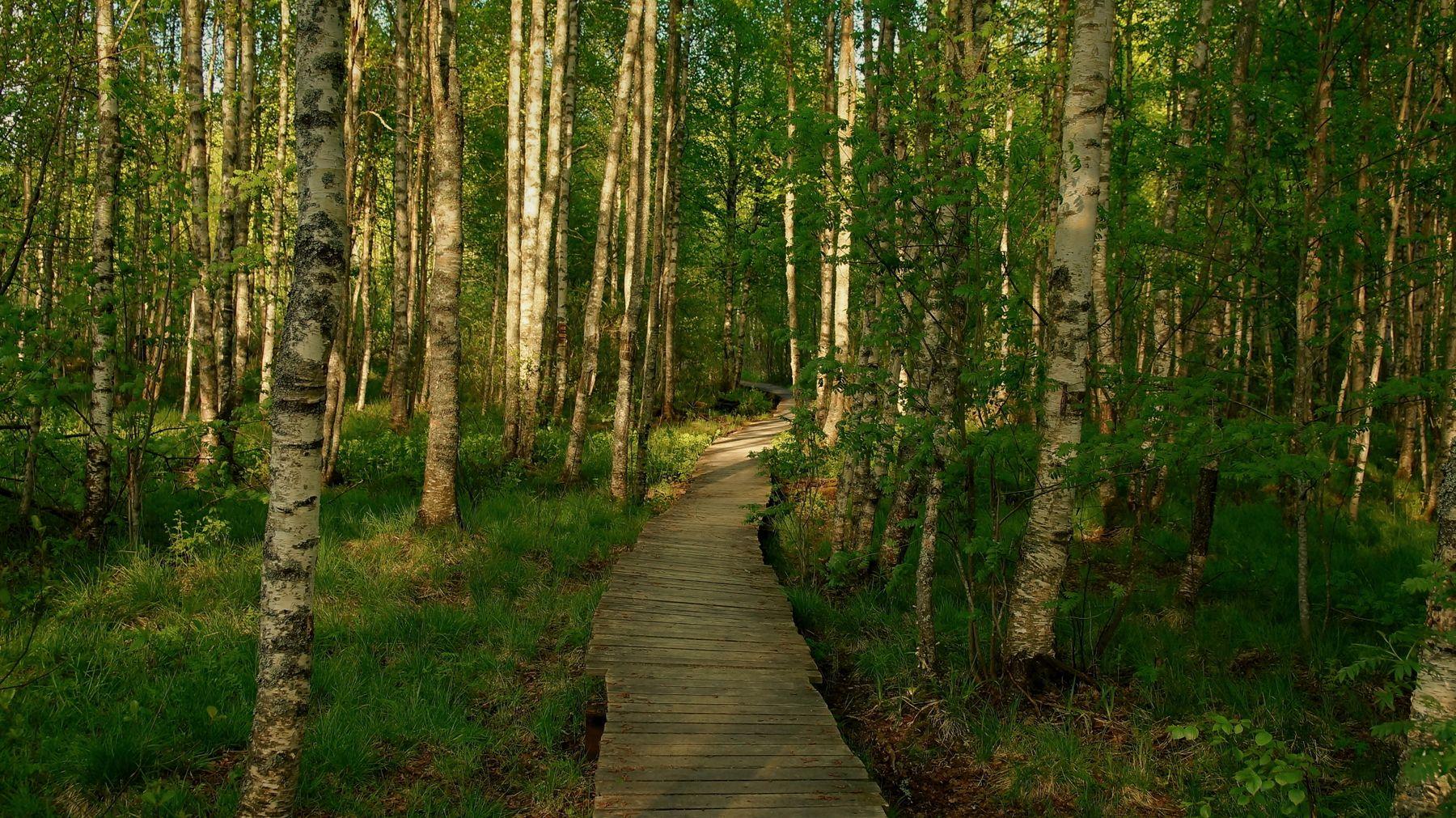 Экотропа Весна экотропа лес березы вечер