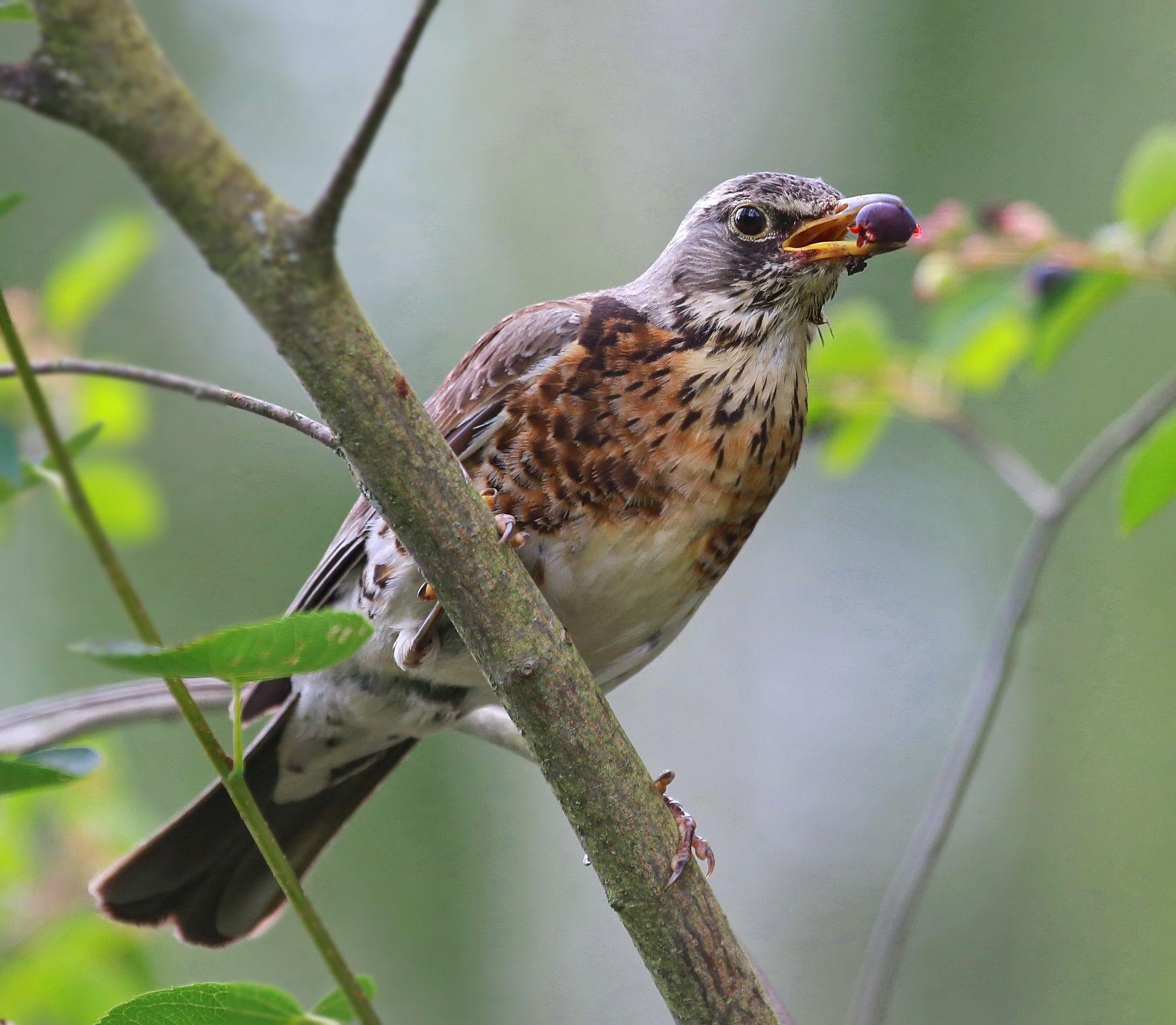 Про дрозда успешного... охота урожай дрозд птахи