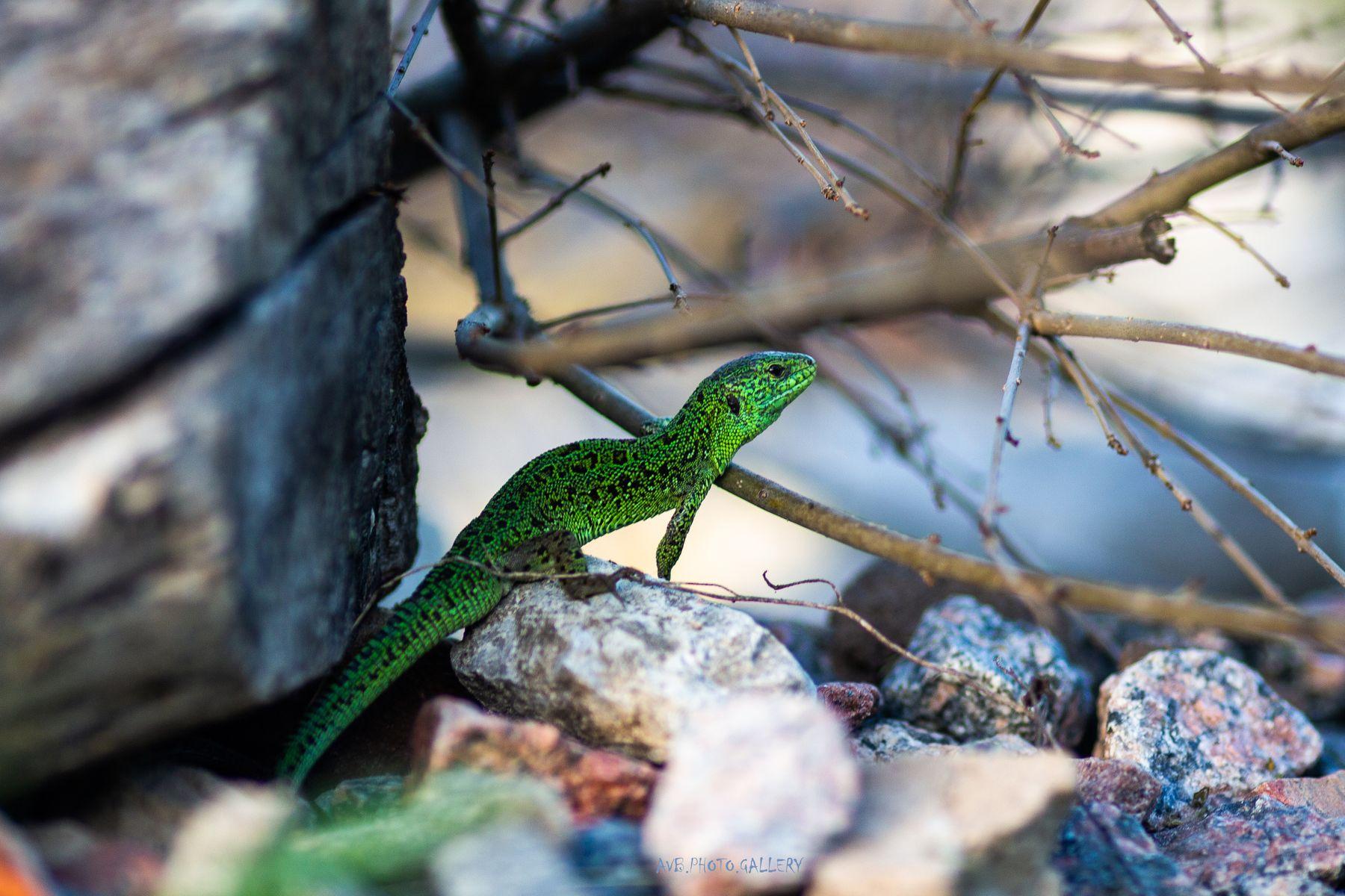 Ящерица Ящерица зеленая ящерица