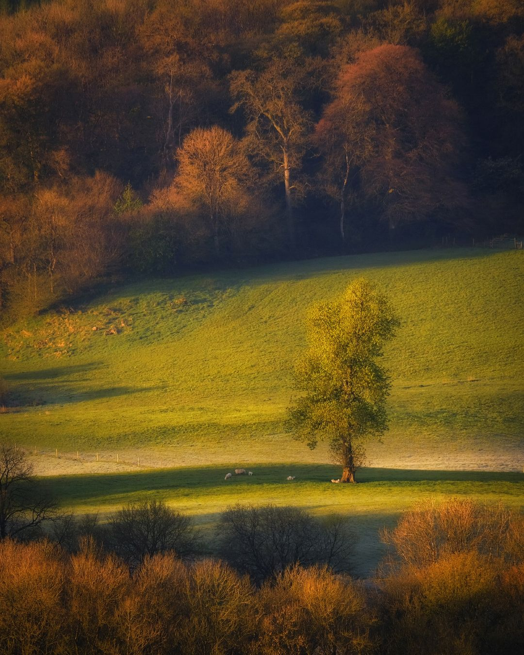 ...sunny morning... ireland landscape countryside nature outdoors rural sheep tree lonely meadows fields wood forest sunshine sunrise morning dawn scenic scenery picturesque awe spectacular europe
