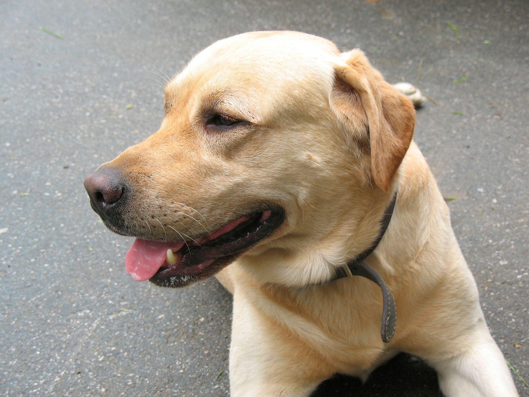 Лабрадор природа животные собаки лето город
