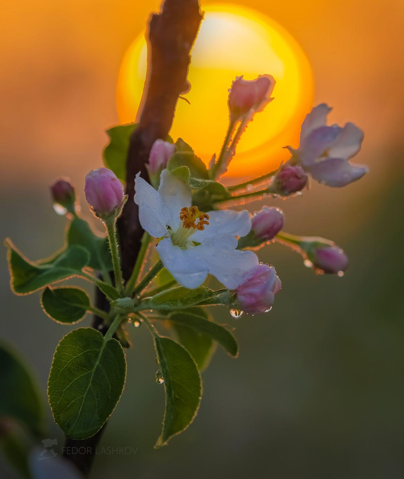 Пробуждение весны Лебедянский район Липецкая область сад цветение фруктовый рассвет солнце макро яблони яблоня цветок садовое сельское хозяйство