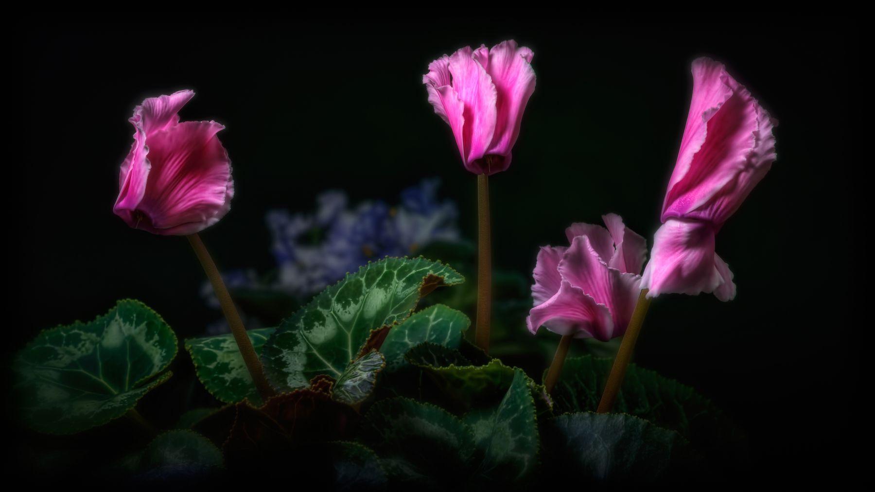 Цикламен. цветы макро