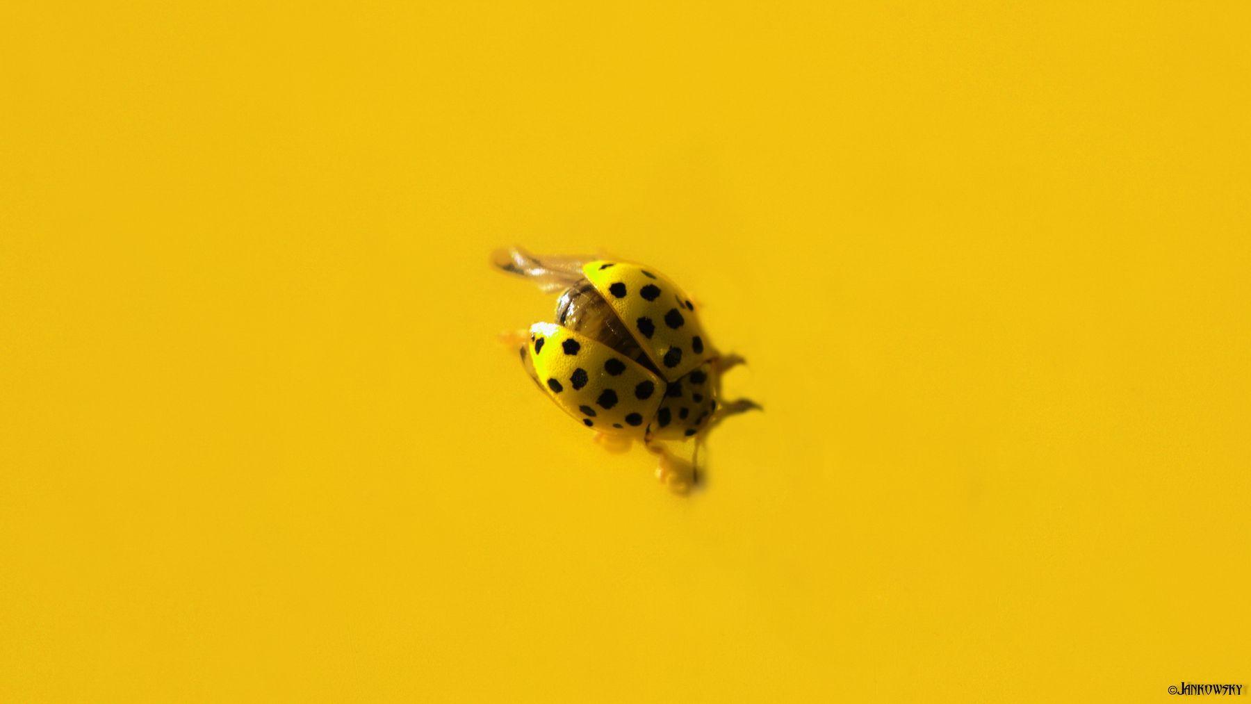 Абсолютный шедевр  эстетеги желтого камуфляжа на желтом ! желтое на желтом желтый фон божья коровка черный капот макро минимализм абстракция жук