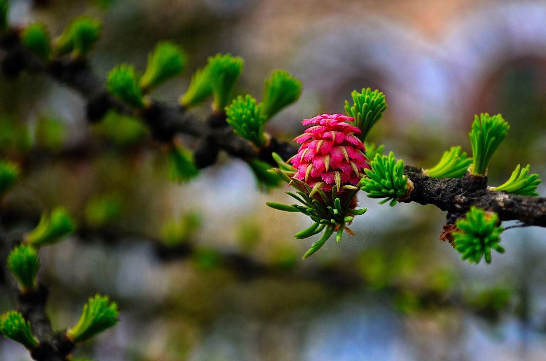 Лиственница цветет. Весна макро лиственница цветок красота природы