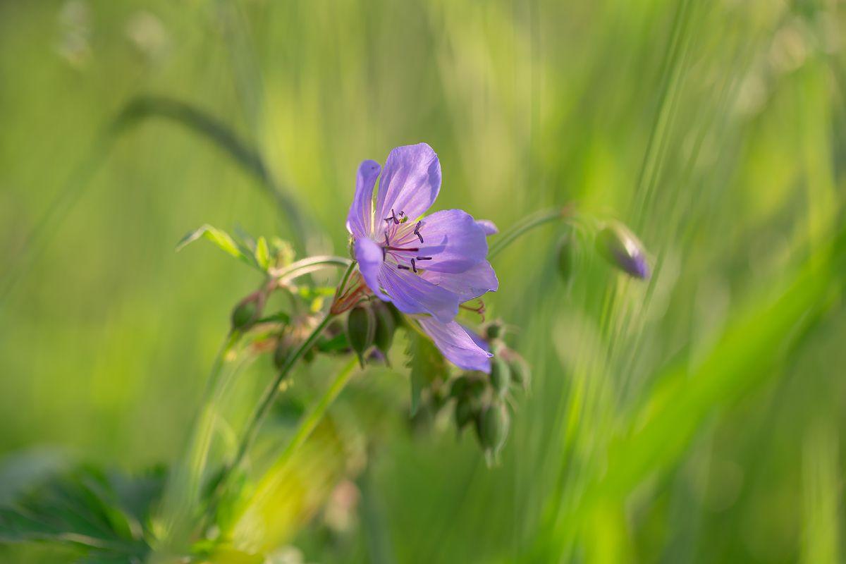 Герань луговая герань закат полевые цветы природа