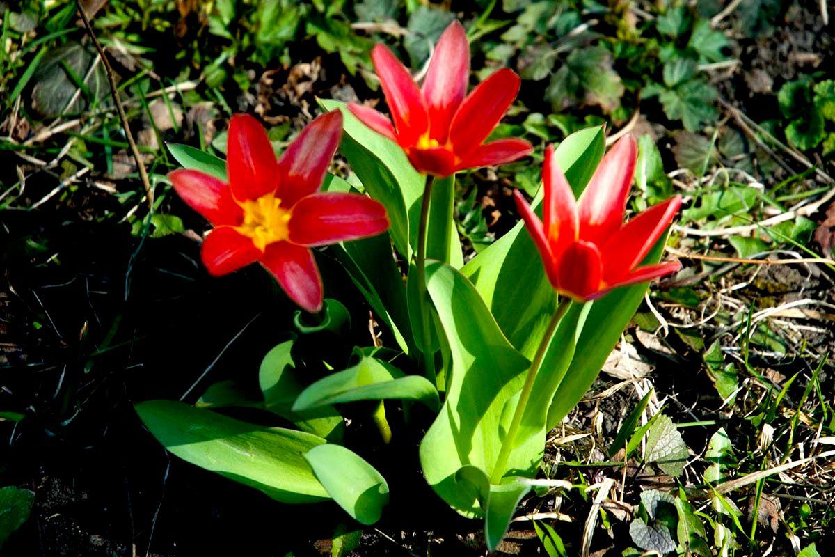 Тюльпан. цветы весна