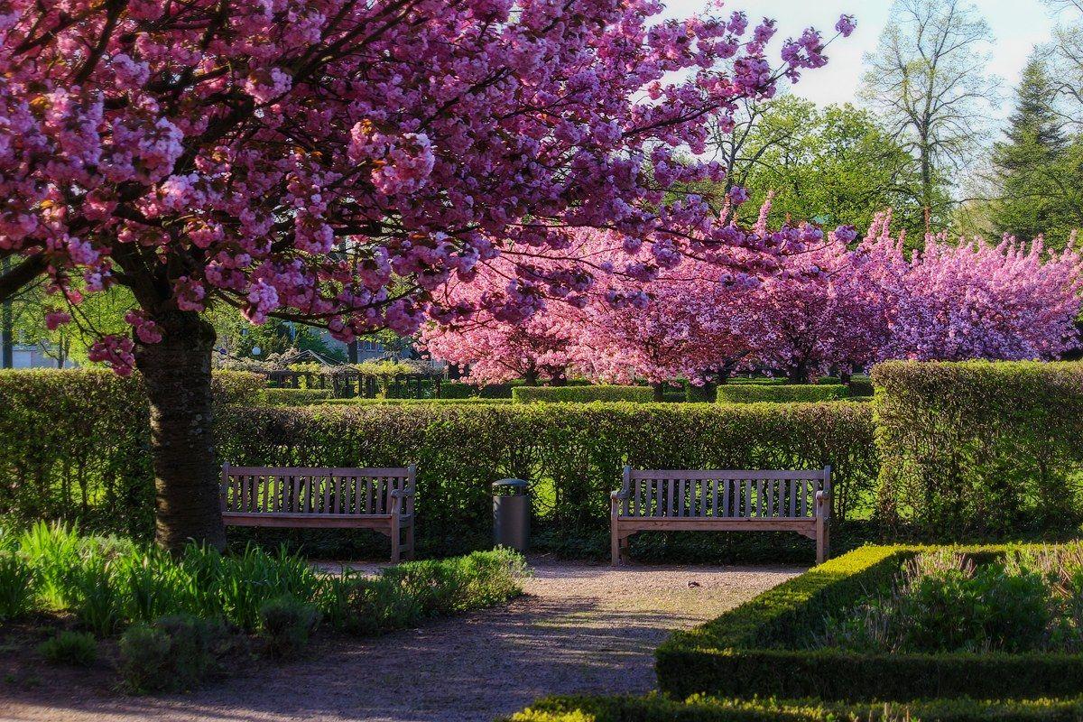 О весне сакура весна скамейка
