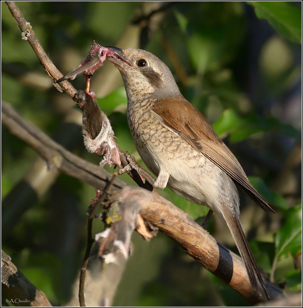 Разделка туши ) птица сорокопут самка разделка мышиная тушка мясо вкусно