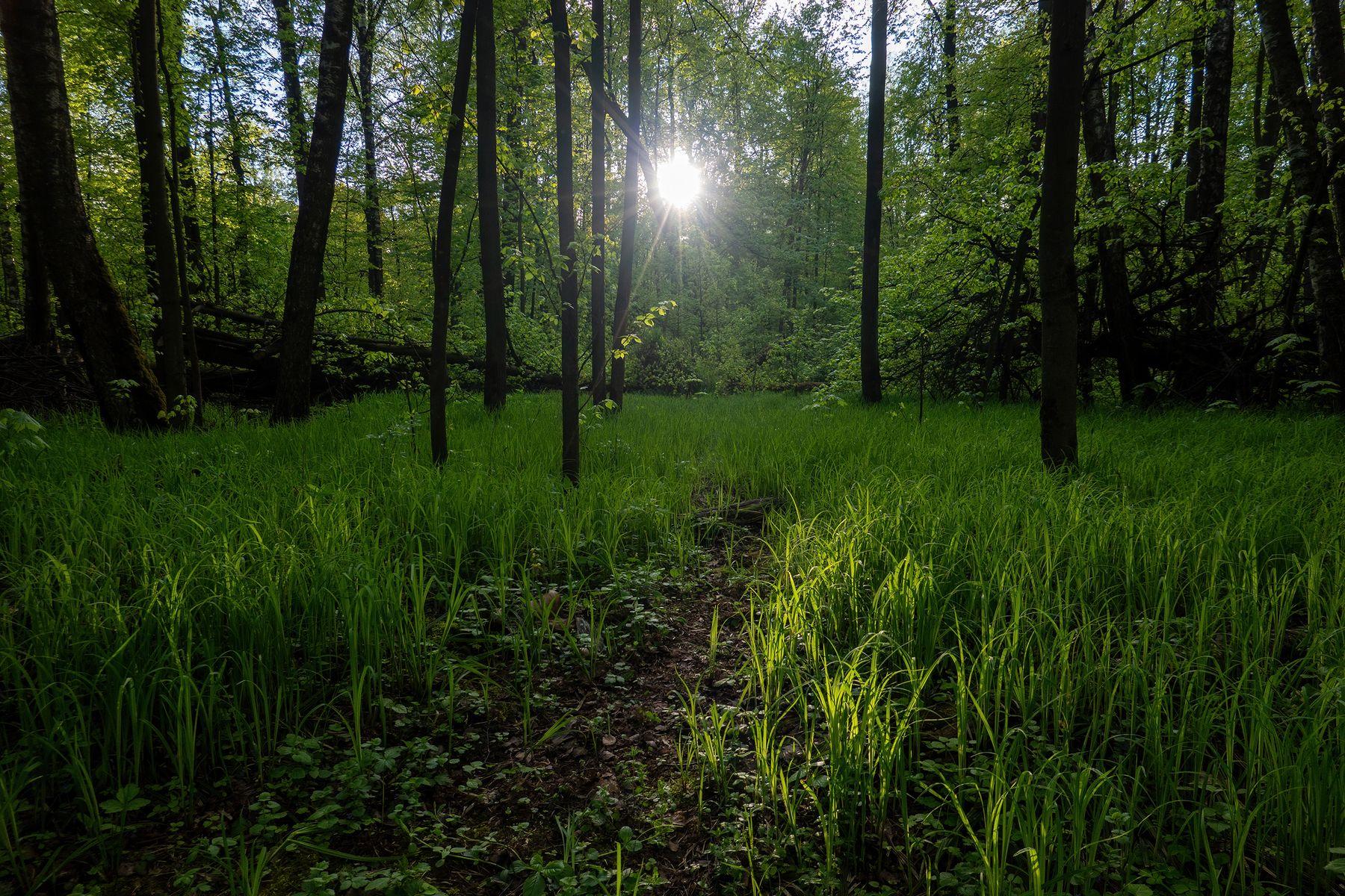 Весенний лес антонмазаев antonmazaev лес зелень москва лосиныйостров солнце вечер весна деревья пейзаж природа